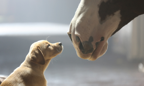 Budweiser-Superbowl-2014-puppy-commercial